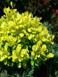 Berberis Thunbergii Thiny Gold