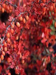 Berberis thunbergii - Epine-vinette de Thunberg