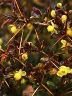 Berberis media Red Jewel - Epine-vinette