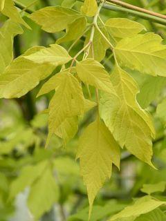 Érable à feuille de frène dorée