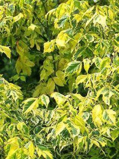 Acer negundo Aureomarginatum - Érable à feuille de frêne