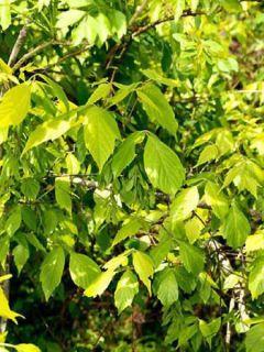 Érable à feuille de frêne - Acer negundo