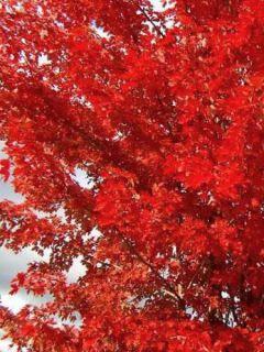 Acer x freemanii Autumn Blaze - Erable de Freeman
