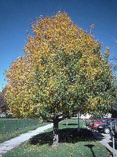 Erable champêtre - Acer campestre