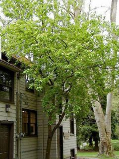 Acer davidii - Érable à peau de serpent