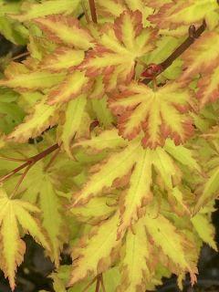 Érable du Japon - Acer palmatum Anne Irene