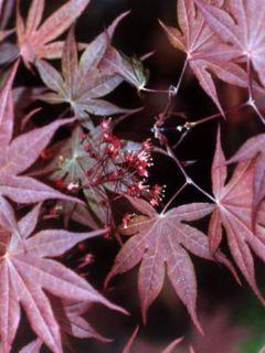 Érable du Japon - Acer palmatum Atropurpureum