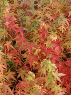 Érable du Japon Bi Hoo - Acer palmatum