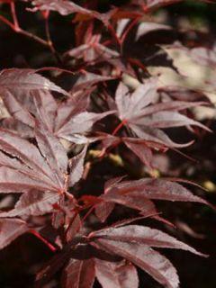Erable du Japon - Acer palmatum Bloodgood