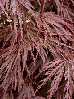 Érable du Japon - Acer palmatum Crimson Queen