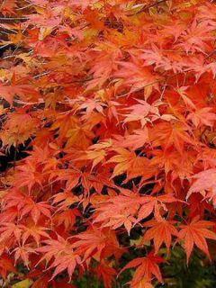 Érable du Japon - Acer palmatum
