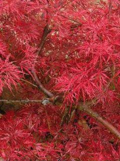 Érable du Japon Dissectum Atropurpureum - Acer palmatum