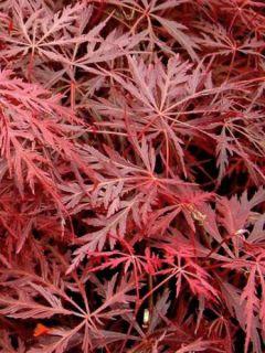 Érable du Japon - Acer palmatum Dissectum Garnet