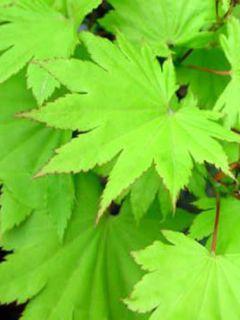 Erable du Japon - Acer shirasawanum Jordan