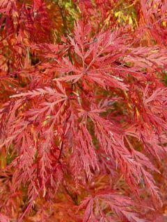 Érable du Japon - Acer palmatum Emerald Lace