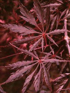 Erable du Japon - Acer palmatum Inaba-Shidare