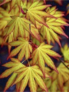 Erable du Japon - Acer palmatum Katsura