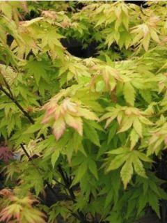 Érable du Japon - Acer palmatum Orange Dream