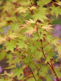 Erable du Japon - Acer palmatum Sangokaku (Senkaki)