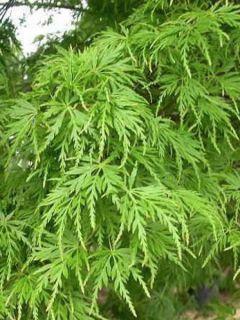 Érable du Japon - Acer palmatum Seiryu