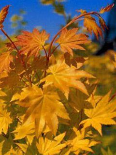 Erable du Japon - Acer palmatum Summer Gold