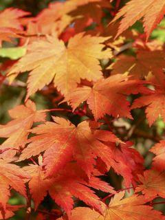 Érable du Japon - Acer japonicum Vitifolium en pot de 12L/15L