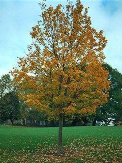 Acer platanoides - Érable plane