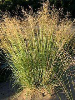 Eragrostis curvula - Herbe d'amour