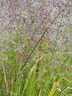 Eragrostis trichodes - Herbe d'amour