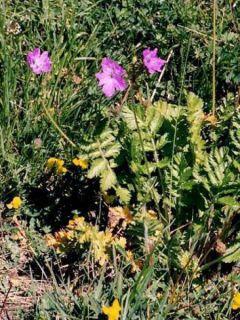 Erodium manescavii - Bec de Grue de Manescaut