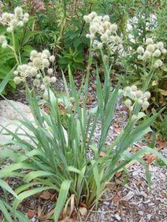 Eryngium yuccifolium, Panicaut
