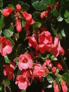 Escallonia C.F. Ball - Escallonia hybride