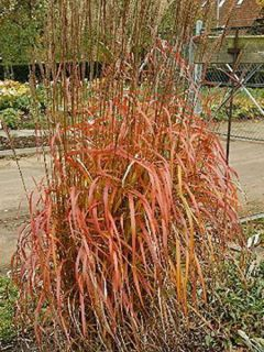 Miscanthus sinensis Afrika - Eulalie - Roseau de Chine