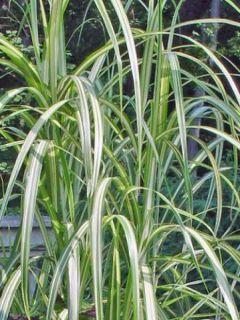 Miscanthus sinensis Cabaret - Roseau de Chine