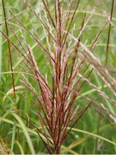 Miscanthus sinensis Emmanuel Lepage - Roseau de Chine