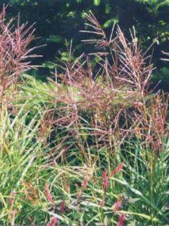 Miscanthus sinensis Ferner Osten - Eulalie - Roseau de Chine