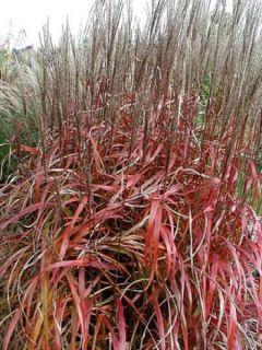 Miscanthus sinensis Ghana - Roseau de Chine