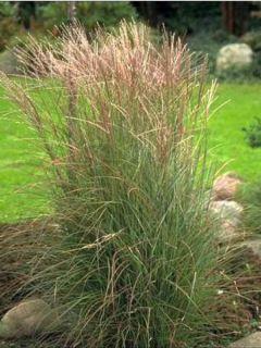 Miscanthus sinensis Kleine Silberspinne - Eulalie - Roseau de Chine