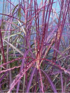 Miscanthus sinensis Purple Fall® - Eulalie, Roseau de Chine