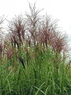 Miscanthus sinensis Rotsilber - Eulalie - Roseau de Chine