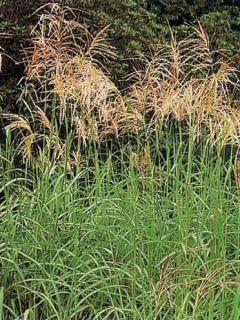 Miscanthus sinensis Silberfeder - Eulalie - Roseau de Chine