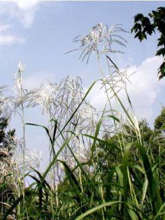 Miscanthus saccharifolius - Roseau de Chine