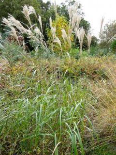 Miscanthus transmorrisonensis - Roseau de Chine