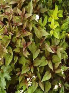 Eupatorium rugosum braunlaub ou Ageratina altissima
