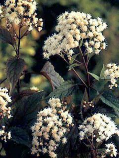 Eupatorium rugosum chocolate ou Ageratina altissima
