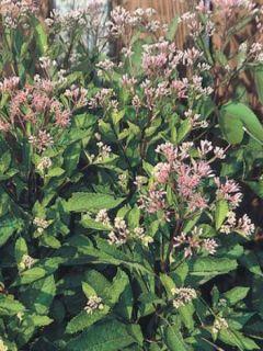 Eupatorium maculatum Phantom