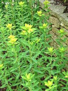 Euphorbe, Euphorbia Cornigera Goldenur Turm