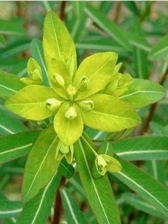 Euphorbe, Euphorbia Cornigera