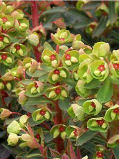 Euphorbe de Martin Baby Charm - Euphorbia x martinii Baby Charm
