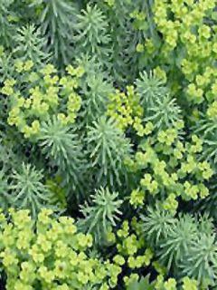 Euphorbia seguieriana ssp. niciciana - Euphorbe de Sibérie